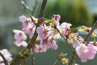 井伊谷宮の桜